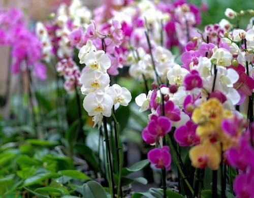 39° Exposição de Orquídeas e Festa do Peixe